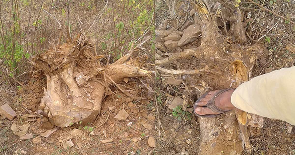 http://www.meranews.com/backend/main_imgs/2_illegal-timber-chopping-in-jungles-near-modasas-tintoi_1.jpg?9