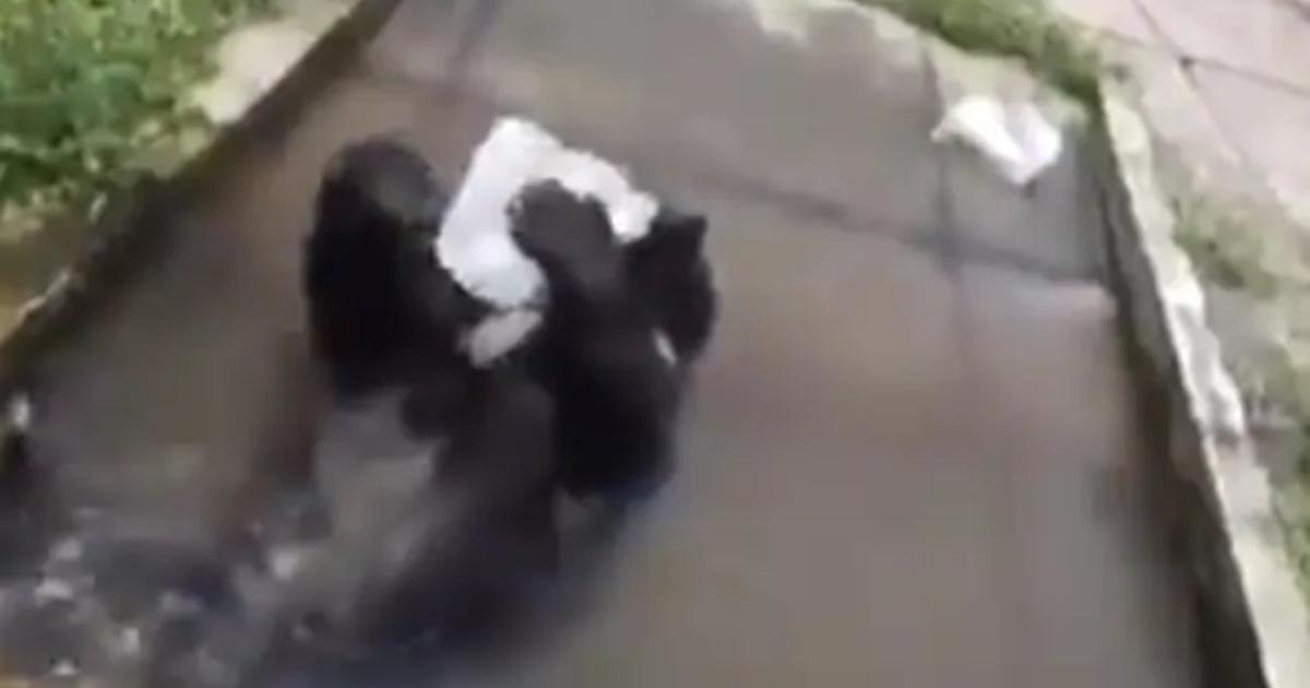 http://www.meranews.com/backend/main_imgs/BlackBearMoj_black-bear-of-bengal-safari-plays-with-a-block-of-ice-to-beat-heat-siliguri-cute-video_0.jpg?82