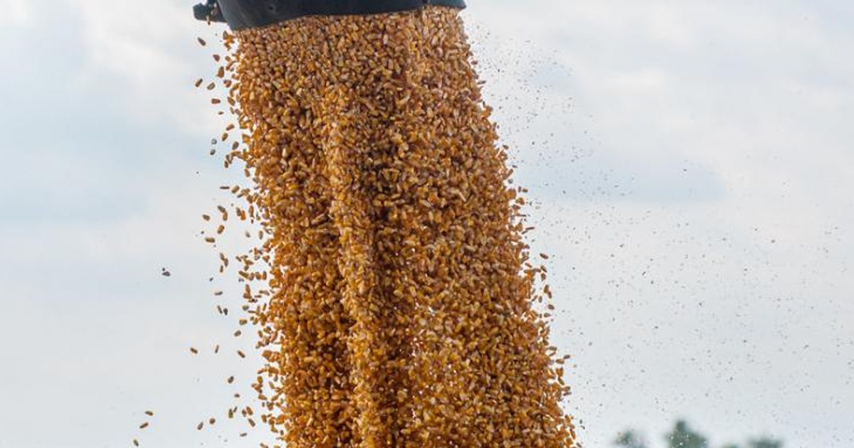 http://www.meranews.com/backend/main_imgs/Cornprice_corn-india-america-argentina-agricultural-commodity-business-economy_0.jpg?24