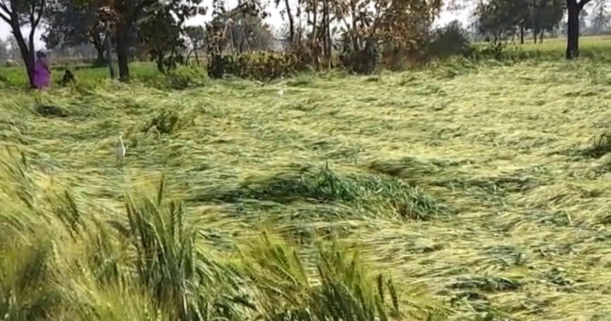 http://www.meranews.com/backend/main_imgs/FarmerMalpur_damage-the-wheat-crop-in-the-farm-by-crashing-into-a-pipeline_3.jpg?96