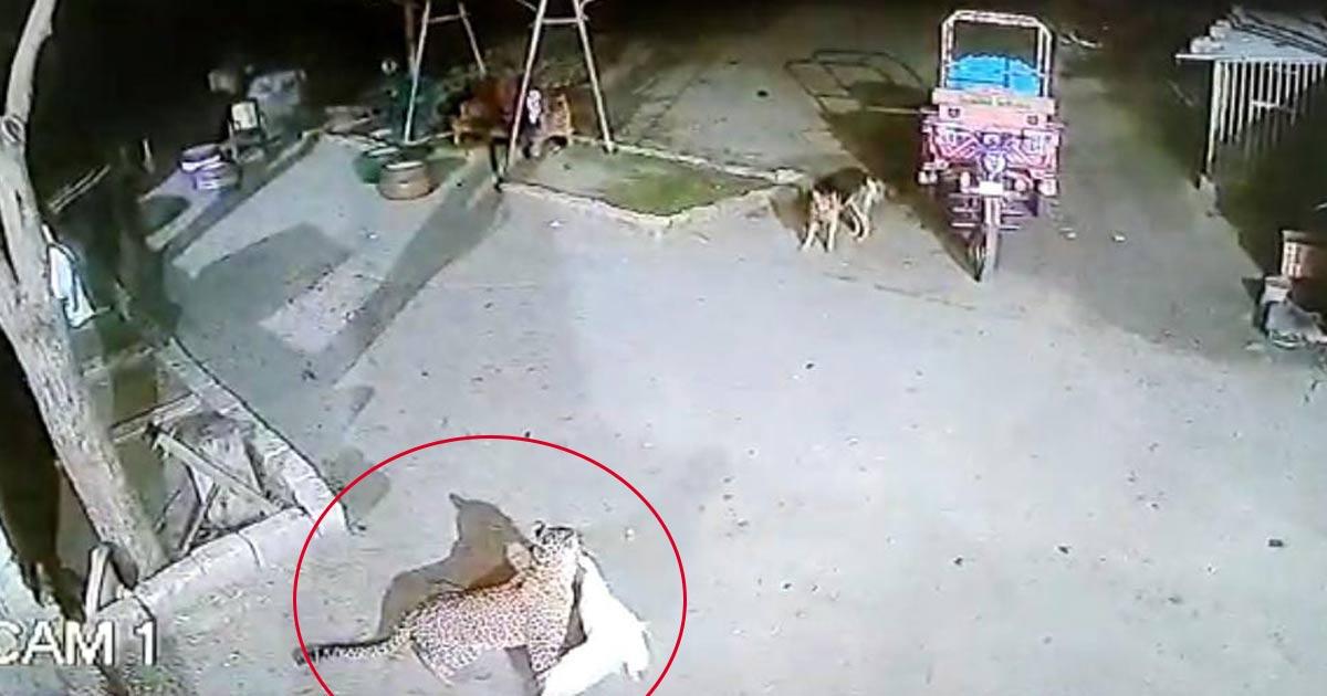 http://www.meranews.com/backend/main_imgs/Leopard_una-leopard-ducks-cctv-gujarat-news_0.jpg?36