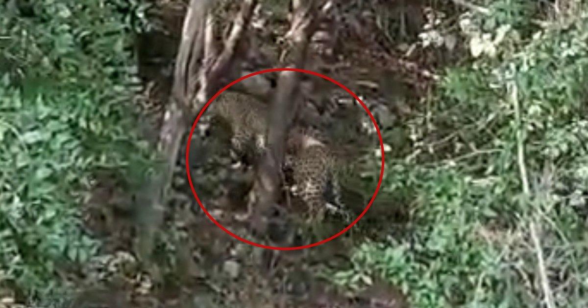 LeopardLeopard Dadhaliya Forest