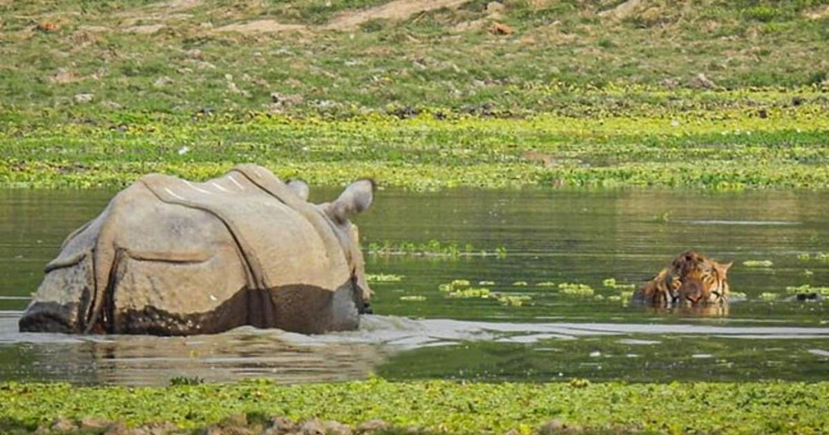 http://www.meranews.com/backend/main_imgs/RhinoChasingTiger_assam-one-horn-rhino-chasing-tiger-in-kaziranga-national-park-viral-video_0.jpg?47
