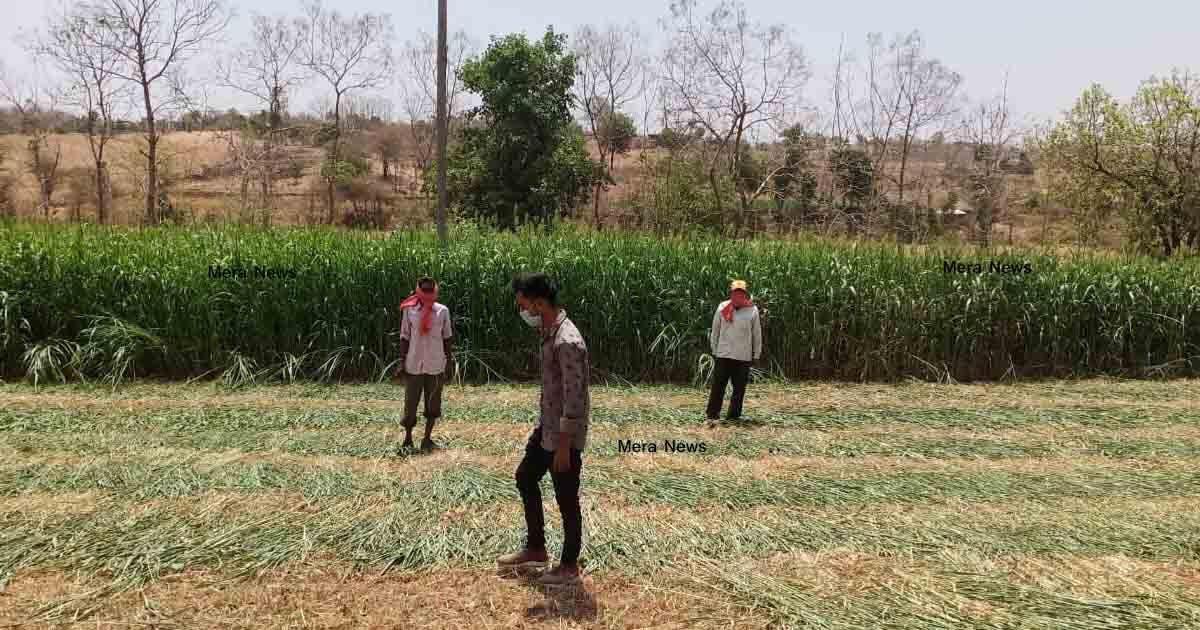 http://www.meranews.com/backend/main_imgs/Tidbhiloda_corona-in-aravalli-farmers-of-aravalli-meghraj-bhiloda-farmer_0.jpg?87