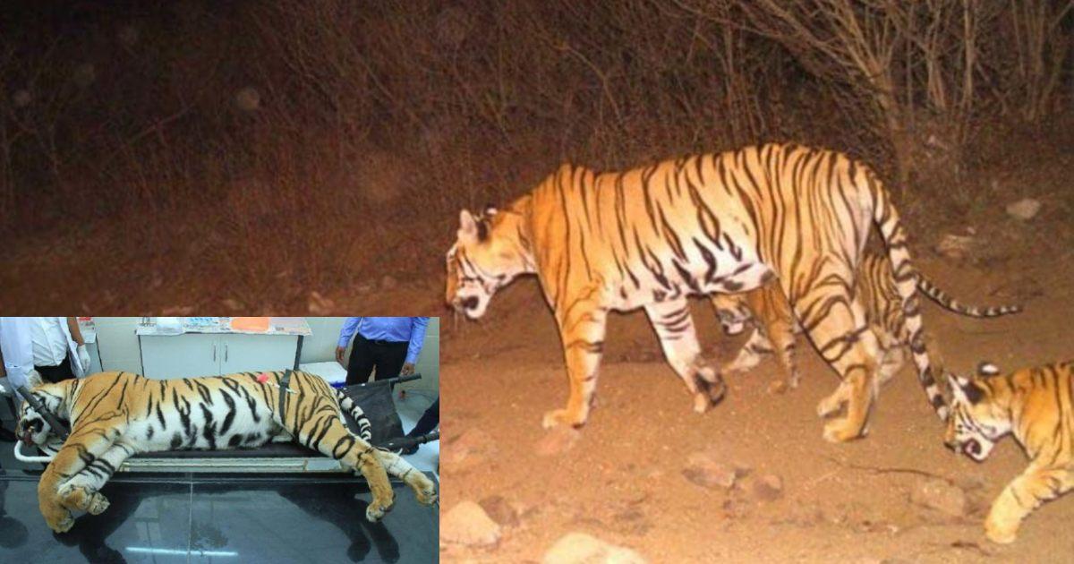 http://www.meranews.com/backend/main_imgs/TigressAvni_tigress-avni-tiger-avni-supreme-court-court-order-wild-life-in-india_0.jpg?26