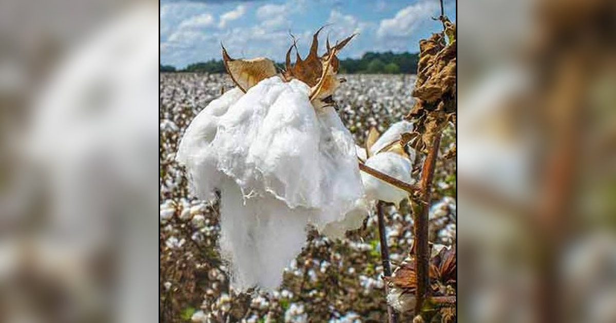 http://www.meranews.com/backend/main_imgs/cotton_cotton-market-increase-market-price-business-news_0.jpg?15