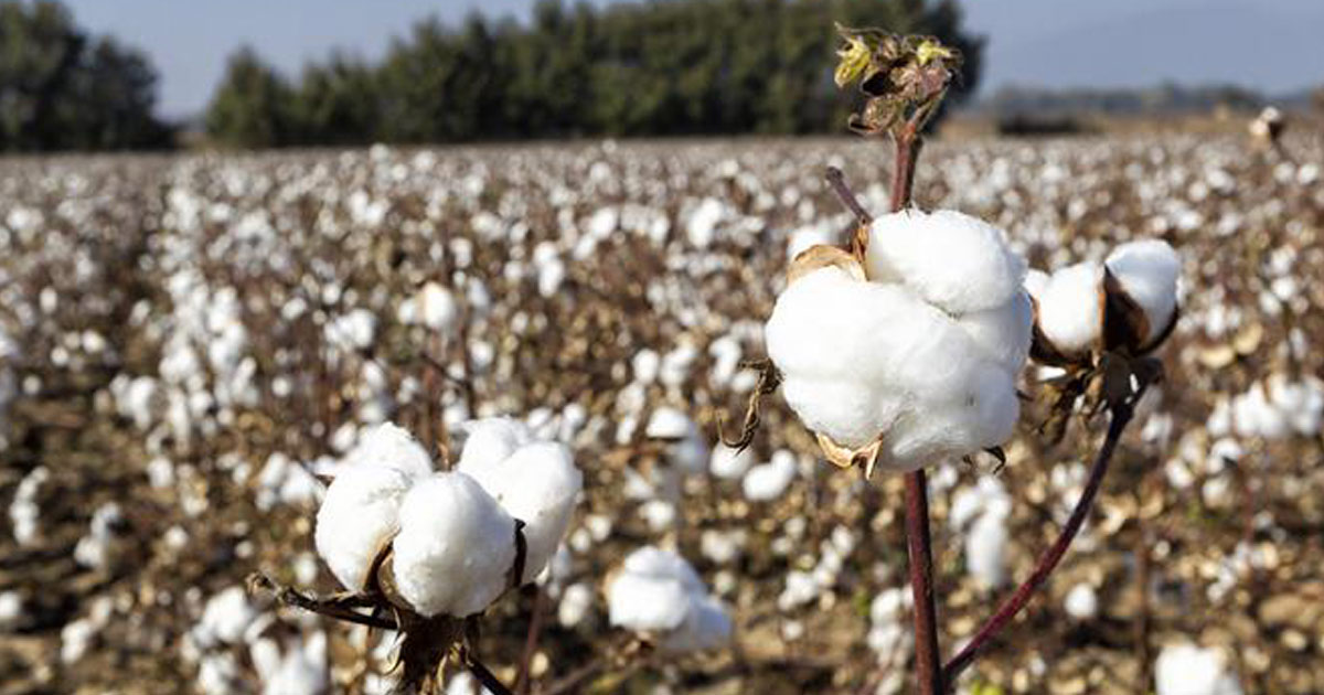 http://www.meranews.com/backend/main_imgs/cotton_global-cotton-consumption-will-fall-by-15-percent-2015-20_0.jpg?15