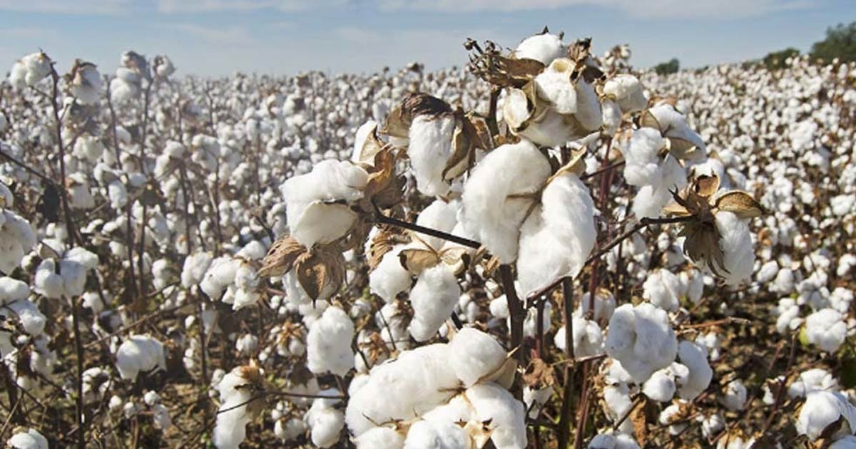http://www.meranews.com/backend/main_imgs/cotton_pakistan-to-open-import-doors-of-cotton-for-india_0.jpg?55?3