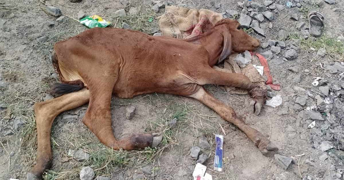 http://www.meranews.com/backend/main_imgs/cow2_cow-dholka-animal-emergency-services-gujarat-government_1.jpg?8