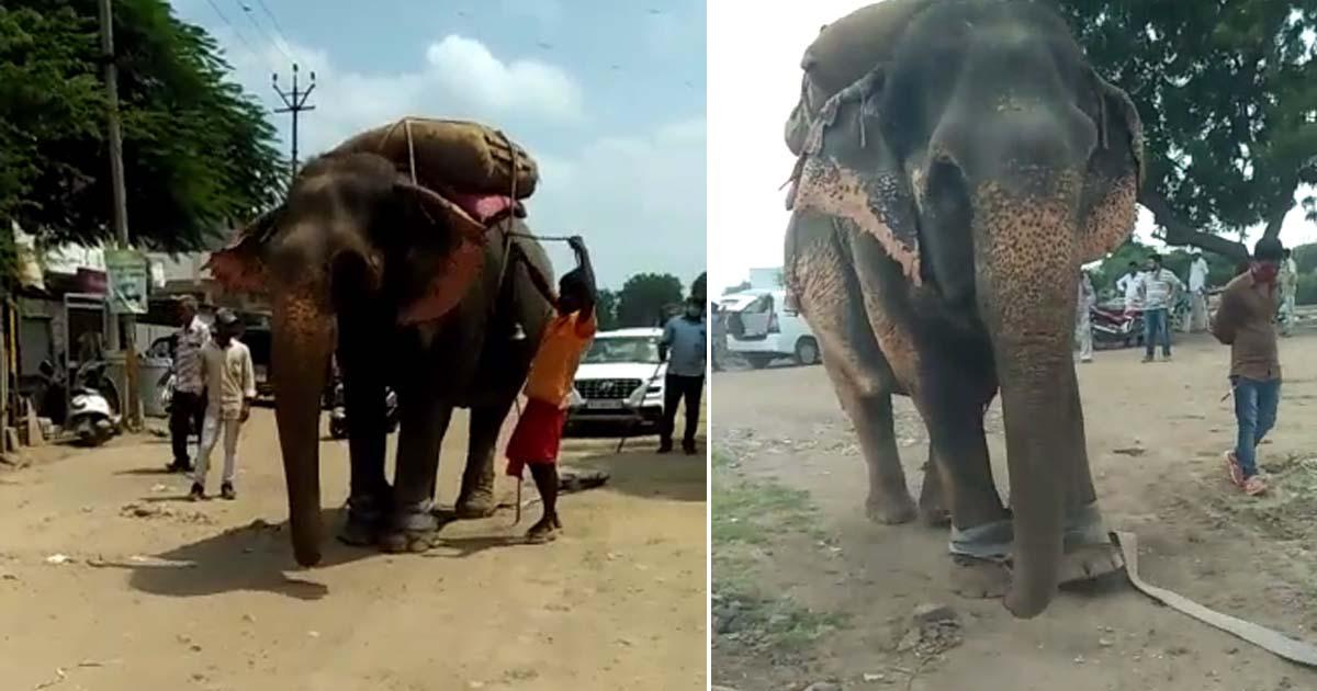 http://www.meranews.com/backend/main_imgs/elehant_gajraj-injured-video-environment-department-elephant-inju_0.jpg?96