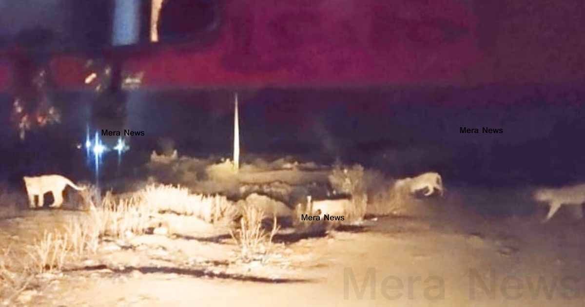http://www.meranews.com/backend/main_imgs/girlion_gir-ghadhda-108-ambulance-video-lion-on-road-lion-and-a_1.jpg?73