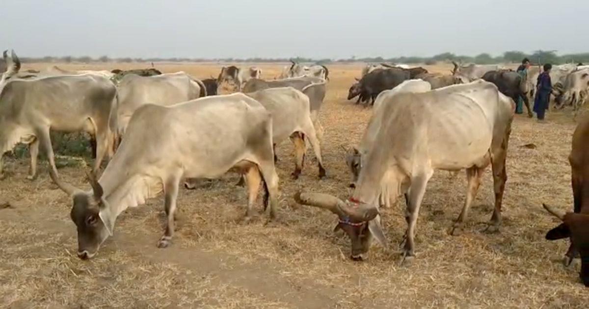 http://www.meranews.com/backend/main_imgs/kutch_kutchis-migrate-to-jhalavad-due-to-drought_0.jpg?9