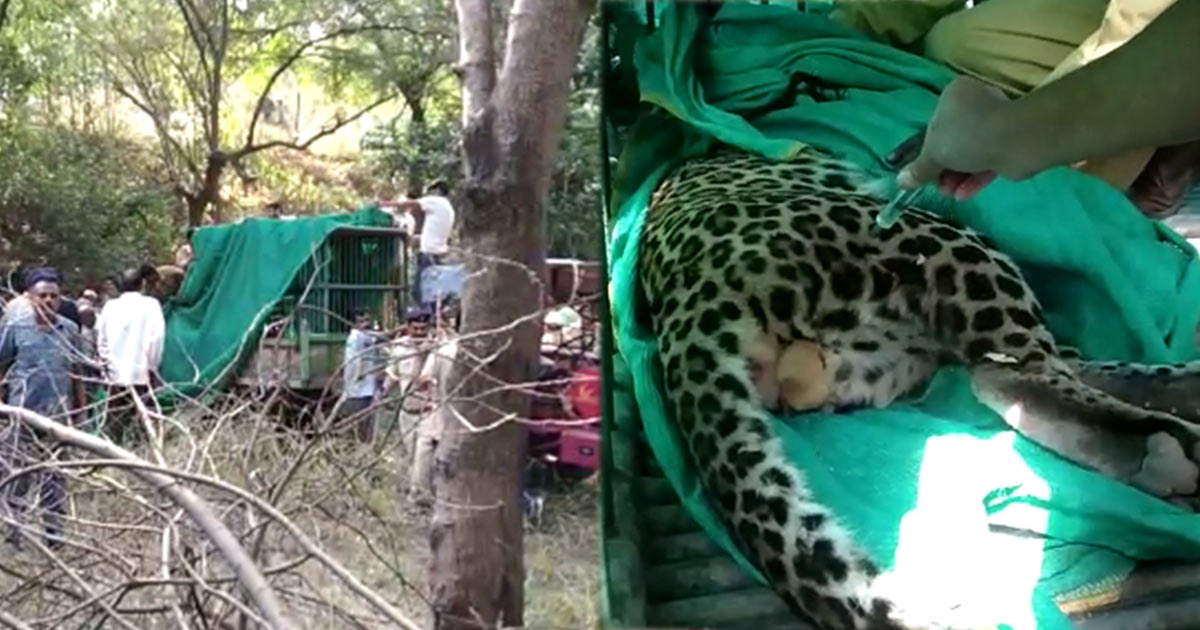 http://www.meranews.com/backend/main_imgs/leopard_leopard-caught-from-gandhinagar-let-off-in-wild-with-micro-c_0.jpg?20