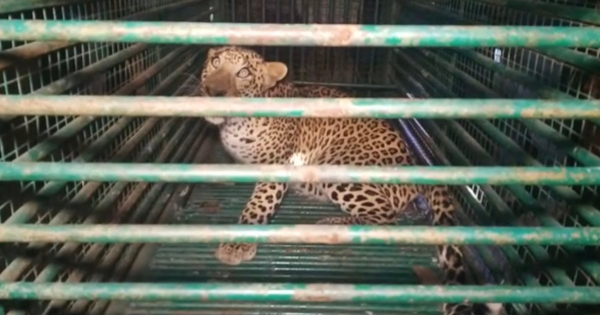 http://www.meranews.com/backend/main_imgs/leopardincase_modasa-aravalli-panther-in-cage-forest-department-latest-gujarati-news_2.jpg?15
