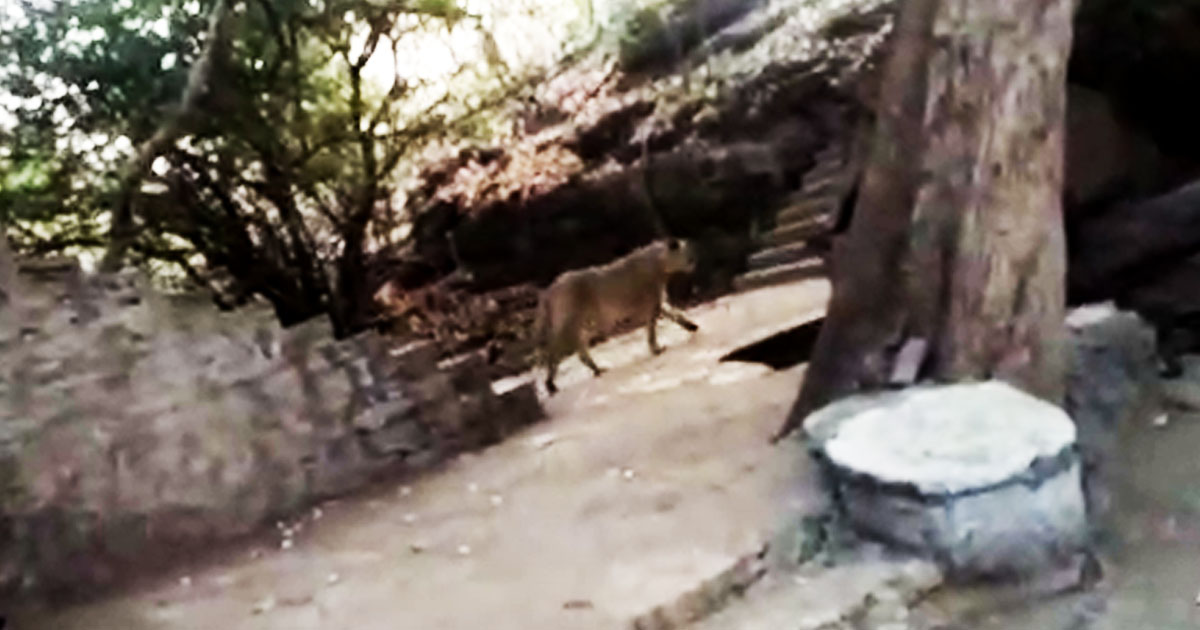 http://www.meranews.com/backend/main_imgs/linessimage_lioness-arrived-in-tapkeshwar-temple-in-gir-gadhada-video_0.jpg?45