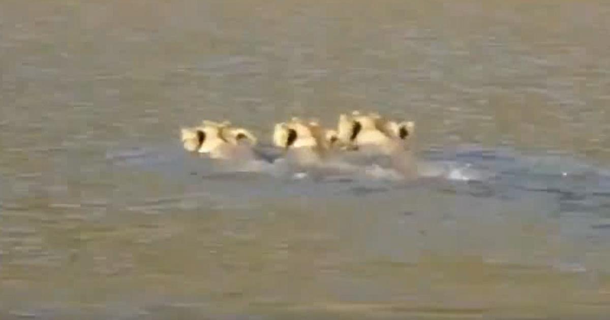 http://www.meranews.com/backend/main_imgs/lion1_lions-sarita-bath-watch-video_0.jpg?82