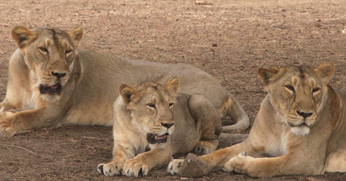 lion death