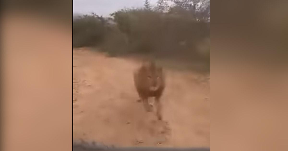 http://www.meranews.com/backend/main_imgs/lion_lion-chasing-tourists-on-safari-in-karnataka-park_0.jpg?34
