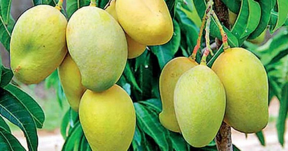 http://www.meranews.com/backend/main_imgs/mango_coronavirus-in-up-mango-business-stuck-in-red-zone-due-to-lockdown_0.jpg?46
