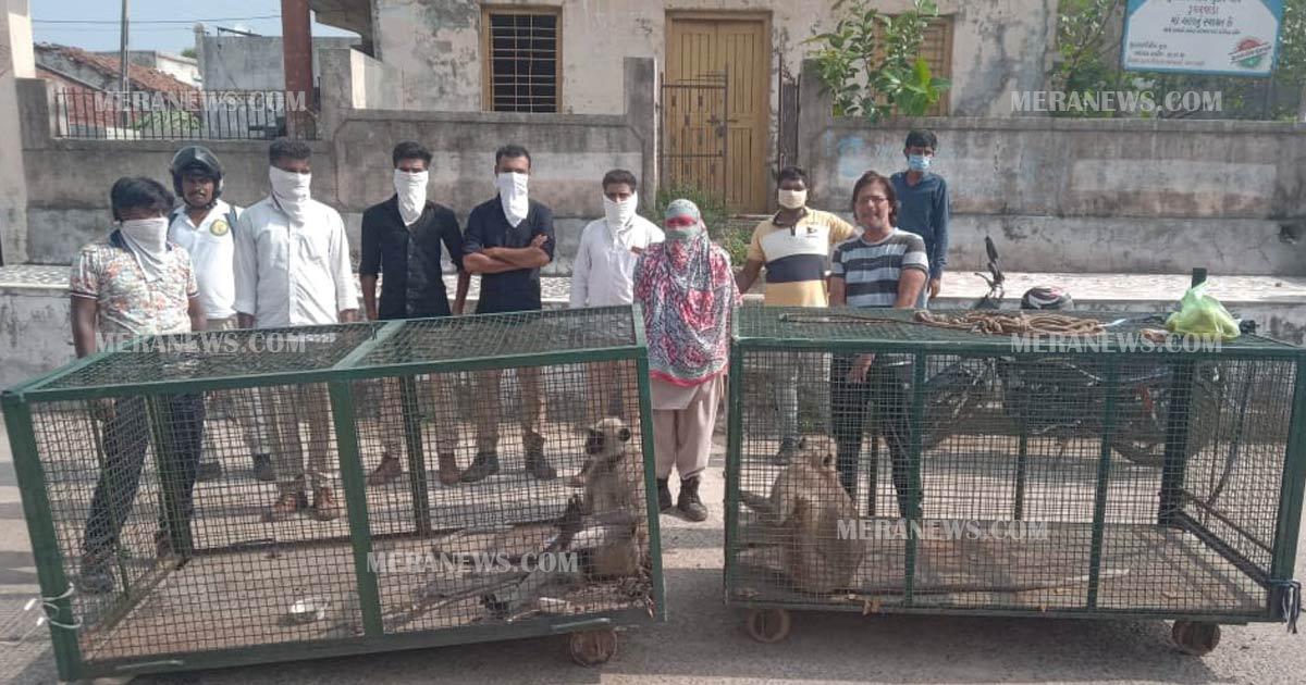http://www.meranews.com/backend/main_imgs/moneky_modasa-dugharwada-monkey-who-terrorized-10-animals_0.jpg?88