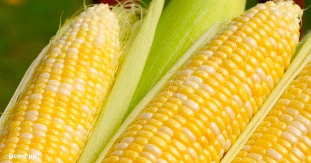 http://www.meranews.com/backend/main_imgs/popcorn_chinese-animal-food-corn-in-demands-market-news-market-story_0.jpg?50