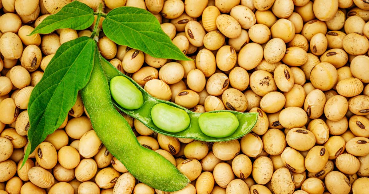 http://www.meranews.com/backend/main_imgs/soybean_soybean-break-on-crop-record-breaks-business-news-in-gujarati_0.jpg?63