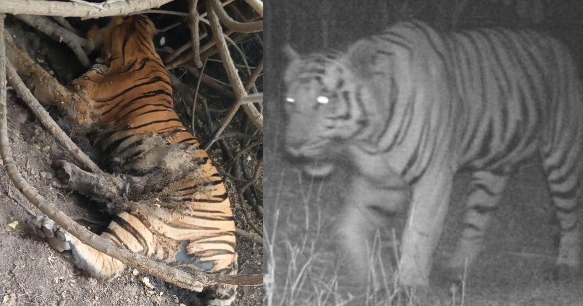 http://www.meranews.com/backend/main_imgs/tigeringujarat2_gujarat-lost-tiger-that-caught-in-camera-before-15-days-tig_1.jpg?55?1