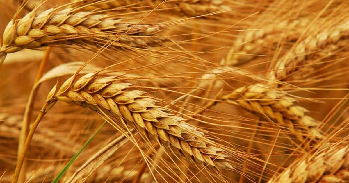 http://www.meranews.com/backend/main_imgs/wheat_prices-of-wheat-maize-soybeans-sugar-and-oilseeds-skyrock_0.jpg?57